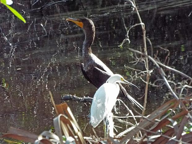 cormorant-snowy