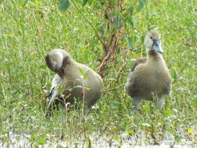 fulvous-whistling-duck-1