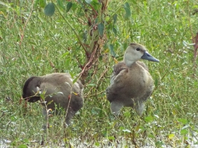 fulvous-whistling-duck-2