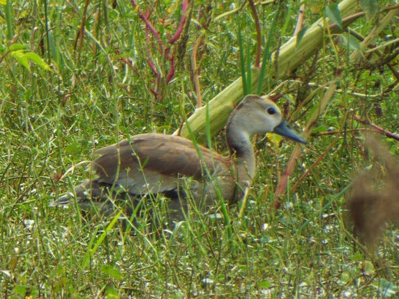 fulvous-whistling-duck-3