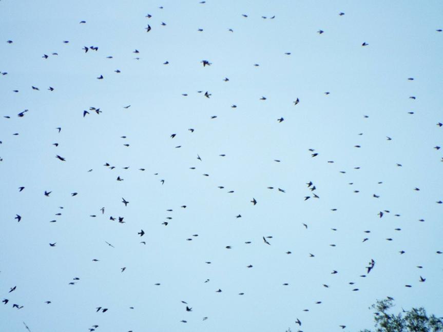 tree-swallows