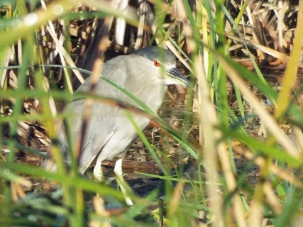 A Black-crowned Night Heron, laying low.