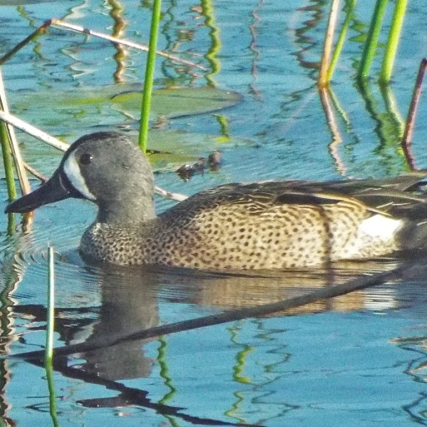 A Blue-winged Teal, cruising alone.