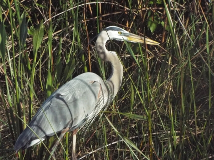 A Great Blue Heron, stalking frogs.