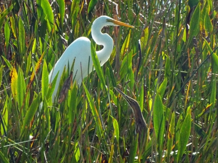 A Great Egret with an American Bittern, hiding in plain sight.