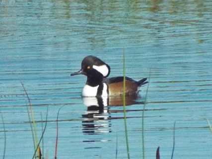 A Hooded Merganser, looking for his mate.
