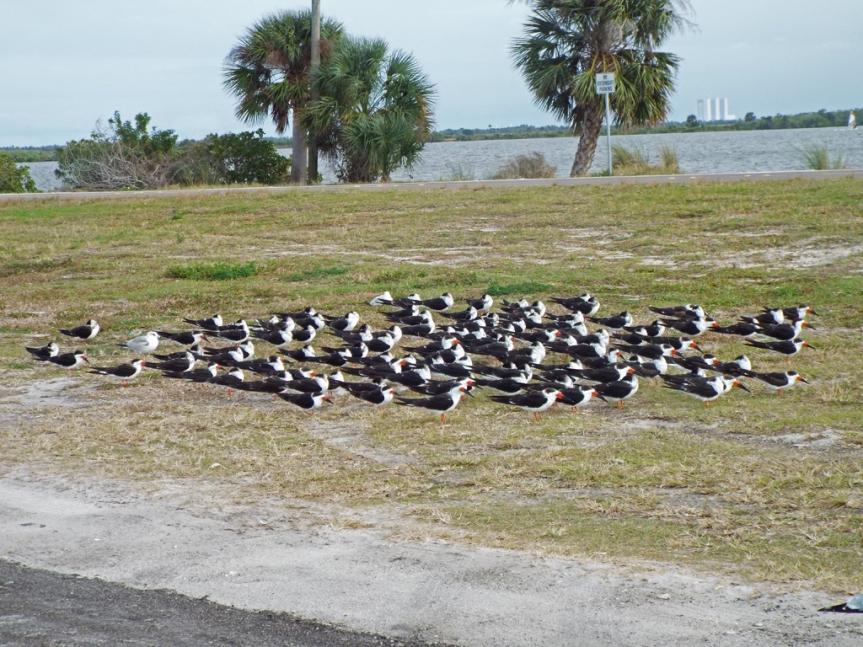 black-skimmers