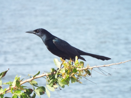 Male Boat-tailed Grackle