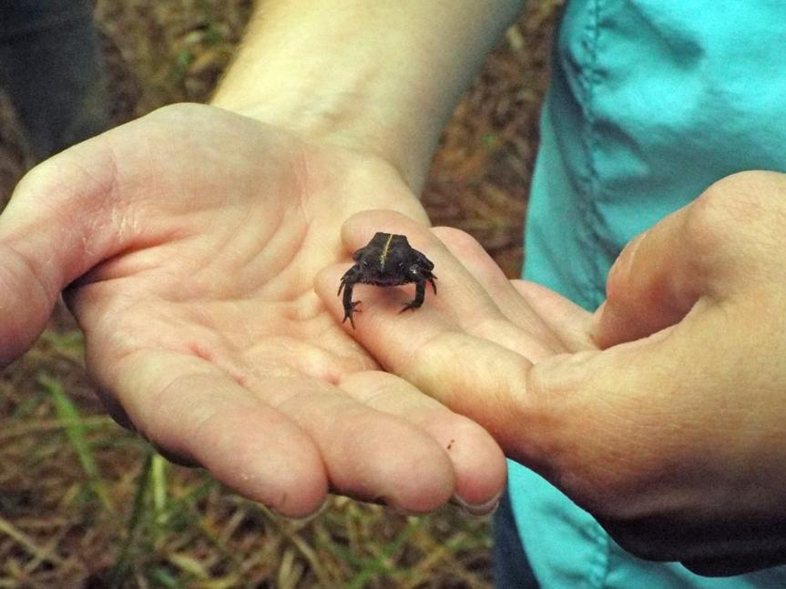 oak-toad