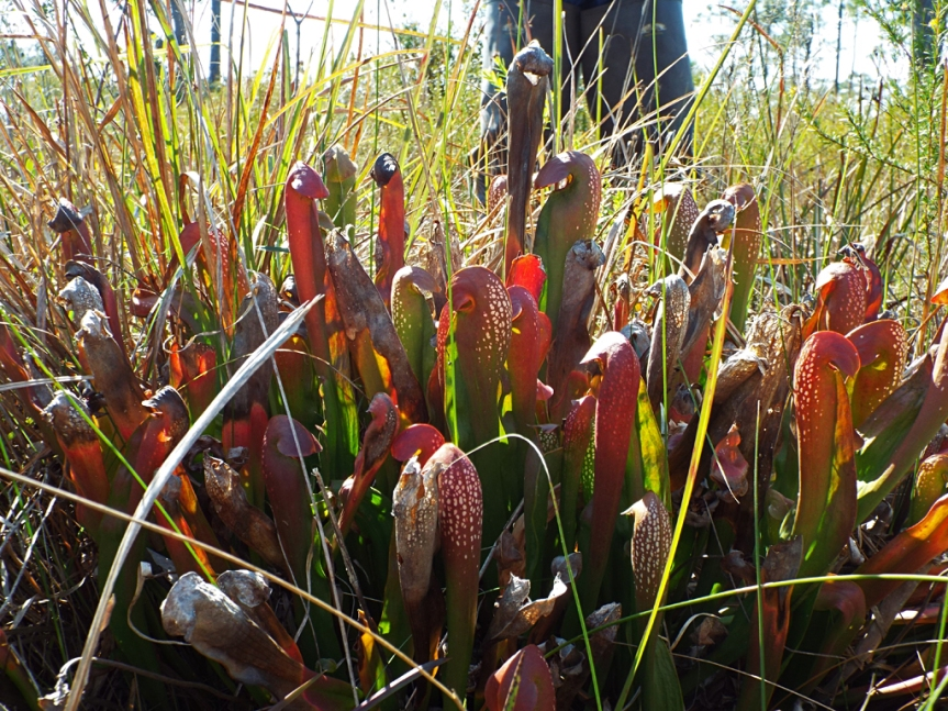 pitcher-plants