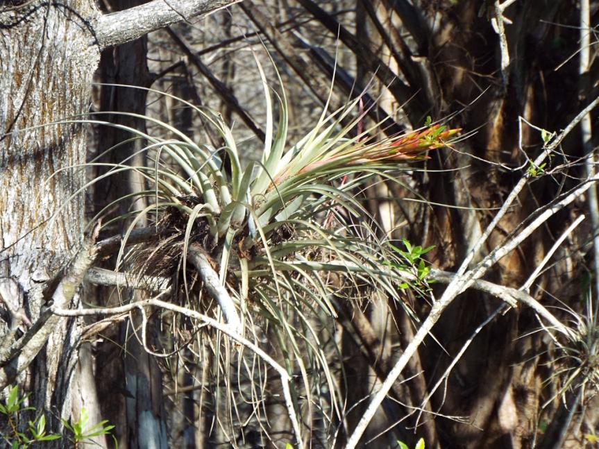 wild-pine