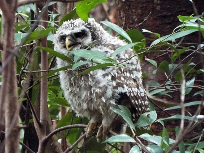 Barred Owlet