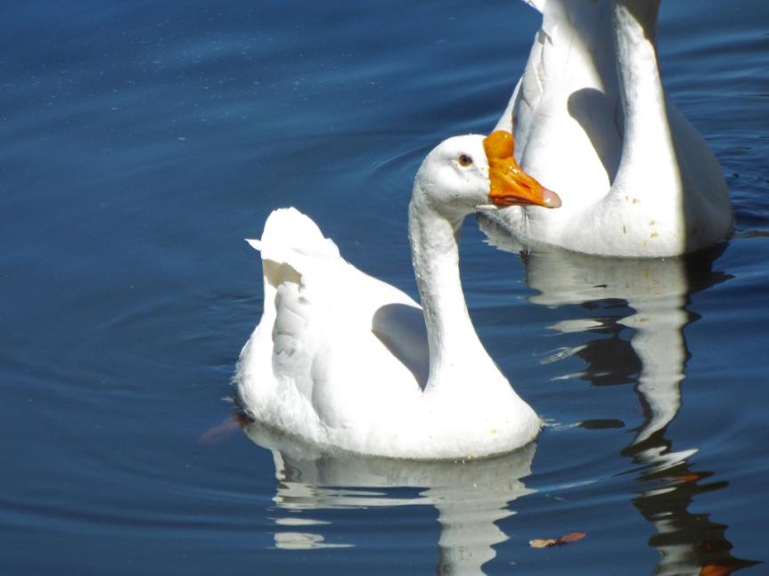 domestic-goose