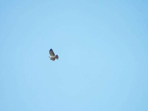 short-tailed-hawk