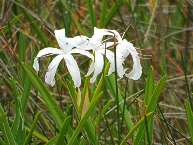 Swamp-lily (also called Seven-sisters and String-lily).