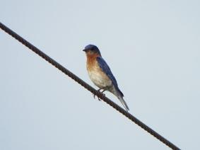 Eastern Bluebird, near Camp Lonesome Preserve