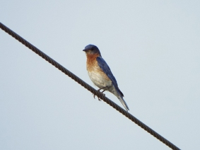 Eastern Bluebird, near Camp Lonesome Preserve