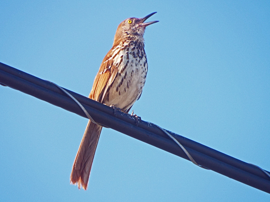 brown-thrasher