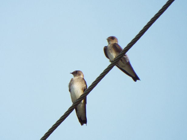 Northern Rough-winged Swallows, near Camp Lonesome Preserve