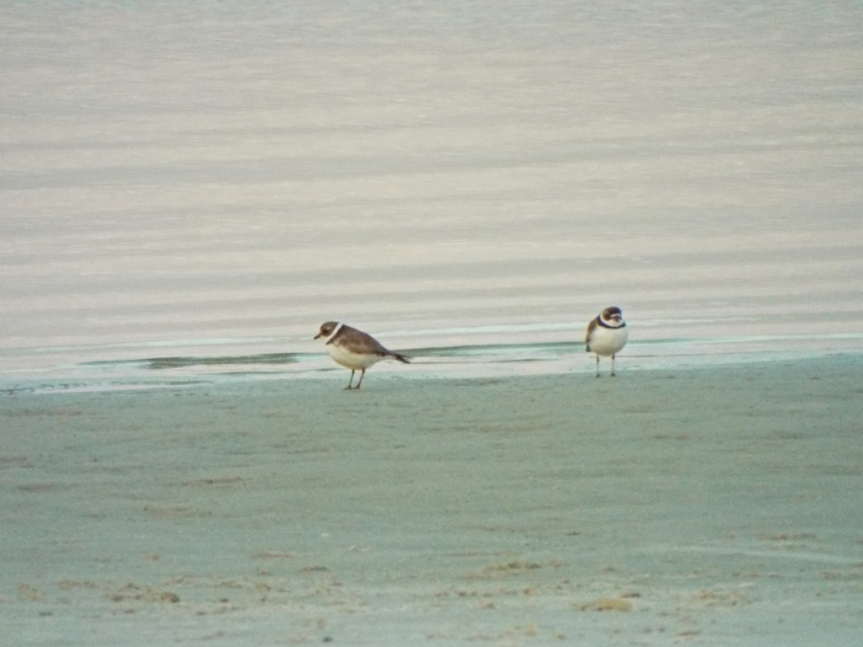 semipalmated-plovers