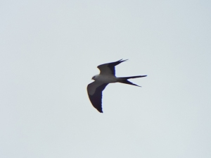swallow-tailed-kite01