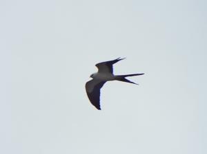 swallow-tailed-kite01