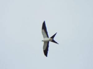 swallow-tailed-kite02