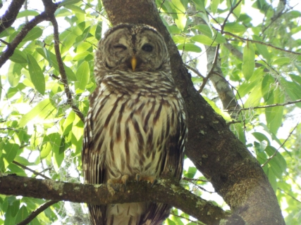 Barred Owl, McKethan Lake, Withlacoochee State Forest