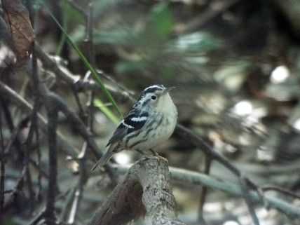 Black-and-white Warbler at Lori Wilson Park, Cocoa Beach, FL