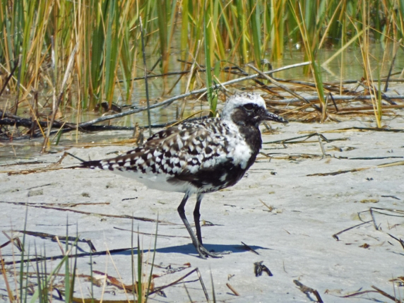 Black-bellied Plover, Ft. De Soto Park