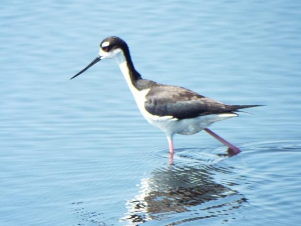 black-necked-stilt