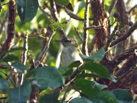 Black-whiskered Vireo at Lori Wilson Park, Cocoa Beach, FL