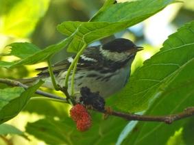 Blackpoll Warbler, Ft. De Soto Park