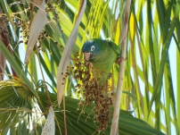 Blue-crowned Parakeet at Eau Gallie Public Library