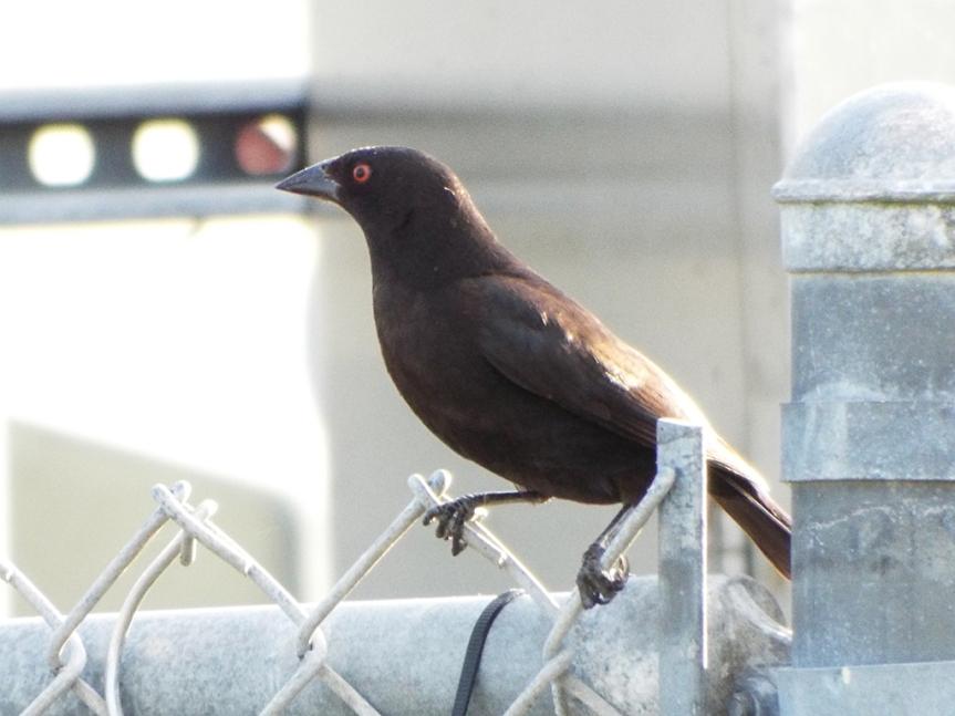 bronzed-cowbird