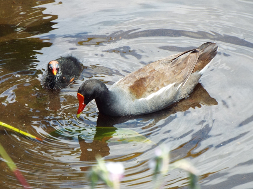 common-gallinule-mom-and-chick
