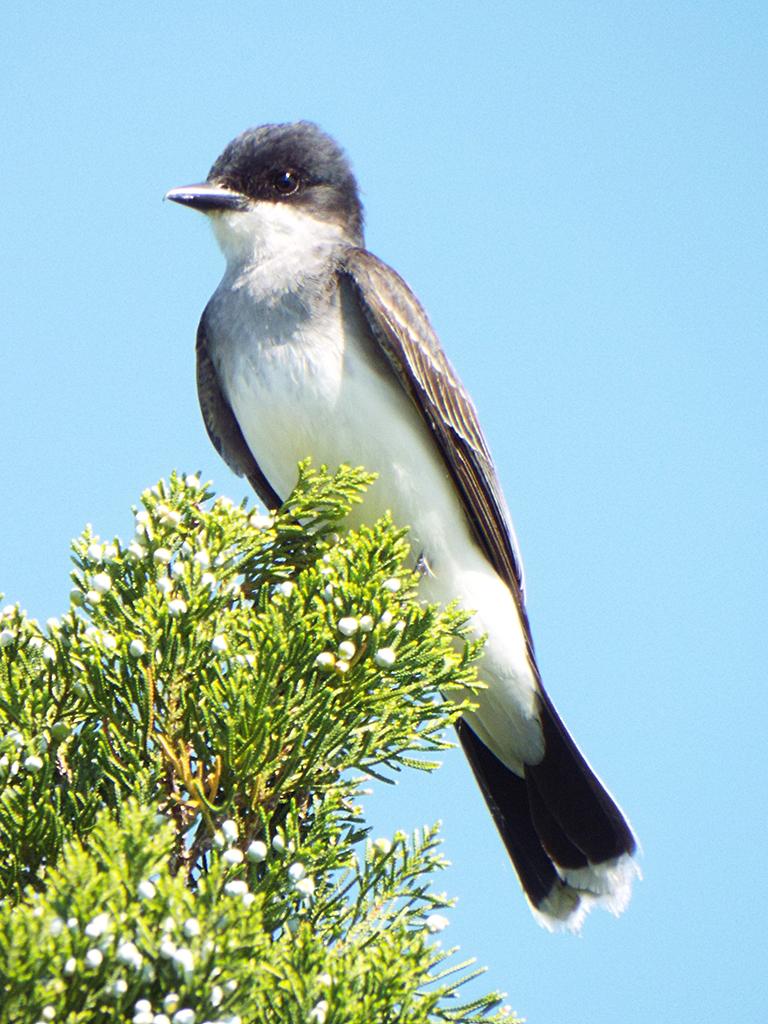 eastern-kingbird