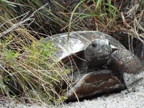 Gopher Tortoise, Turkey Creek Sanctuary