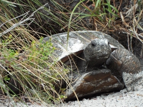 Gopher Tortoise, Turkey Creek Sanctuary