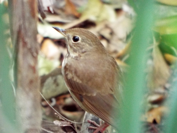 Hermit Thrush at Erna Nixon Park, West Melbourne, FL