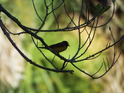 Hooded Warbler, Ft. De Soto Park