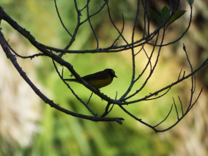 Hooded Warbler, Ft. De Soto Park