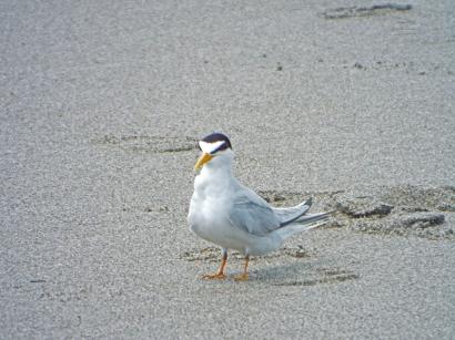 Least Tern at Lori Wilson Park, Cocoa Beach, FL
