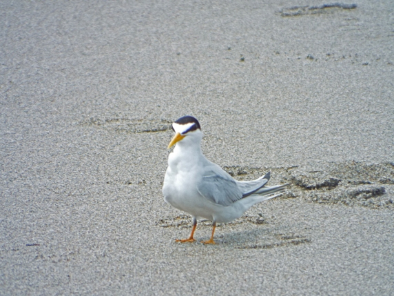 Least Tern at Lori Wilson Park, Cocoa Beach, FL