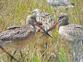 Crossed swords (Marbled Godwits), Ft. De Soto Park