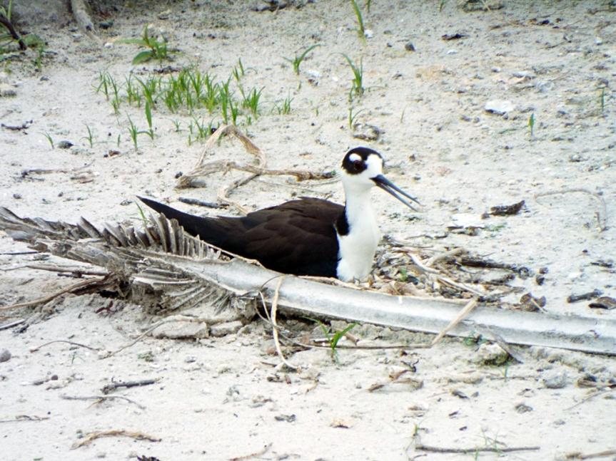 nesting-stilt