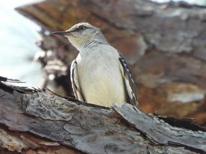 Mockingbird in Wickham Park, Melbourne, FL