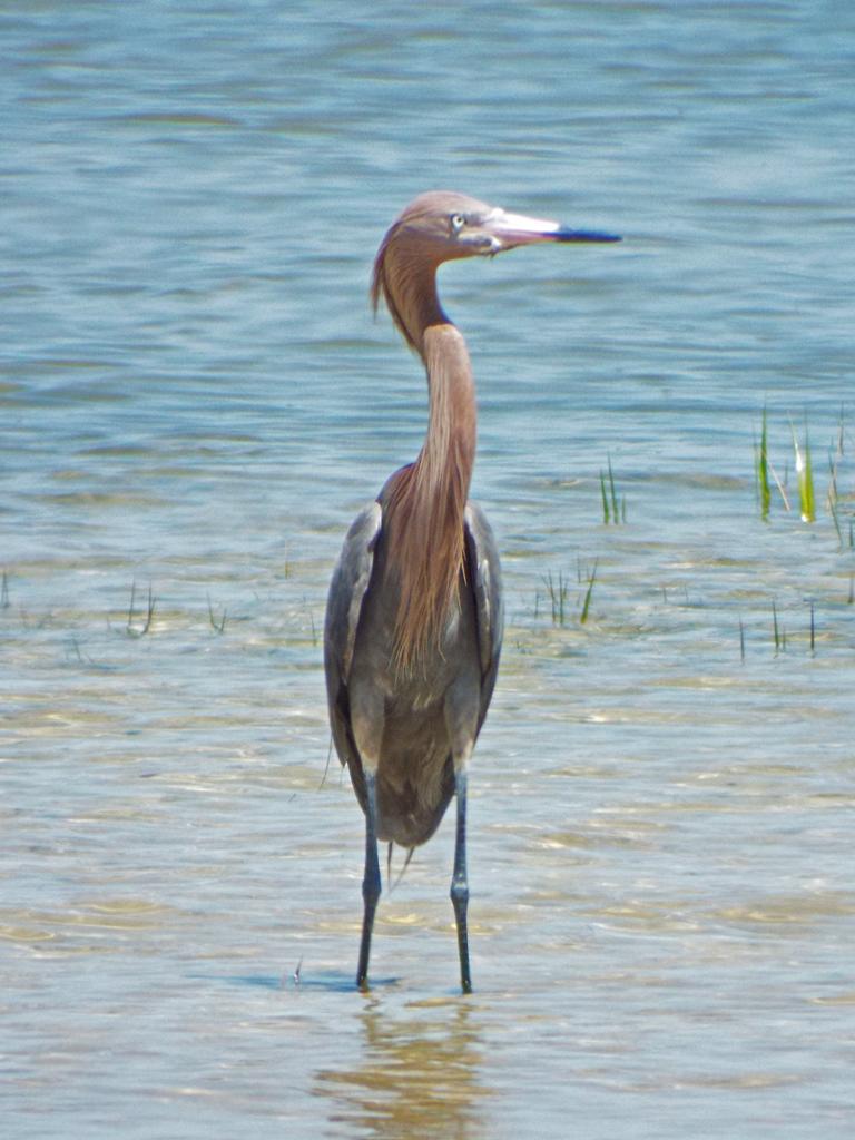 reddish-egret