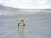 Sanderling, Melbourne Beach, FL