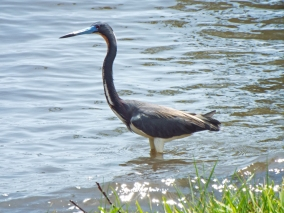 Tricolored Heron at Front Street Park, Melbourne, FL